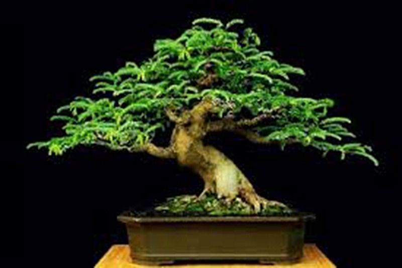 Bonsai_image